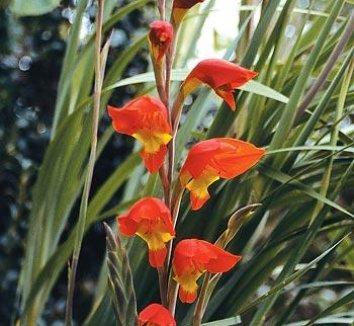 Gladiolus dalenii 'Halloweenie' 1 flower