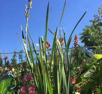 Gladiolus dalenii 'Bolivian Peach' 7 form
