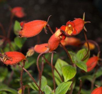 Gloxinia nematanthodes 'Evita' 5 flower