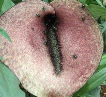 Helicodiceros muscivorus 1 flower