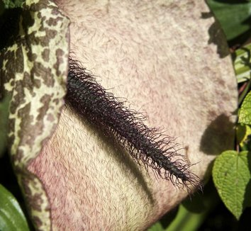 Helicodiceros muscivorus 3 flower