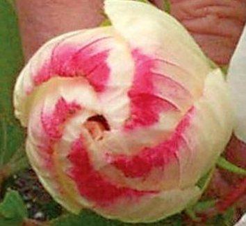 Hibiscus 'White Buddy Jewel' 1 flower