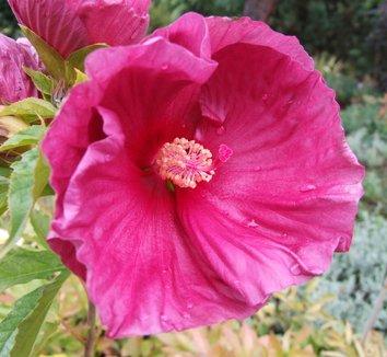 Hibiscus 'Fantasia'  11,853 1 flower