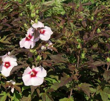Hibiscus 'Kopper King' PP10793 1 flower