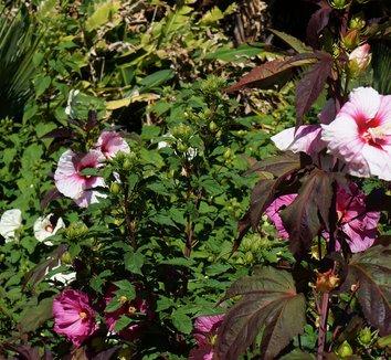 Hibiscus 'Kopper King' PP10793 8 flower