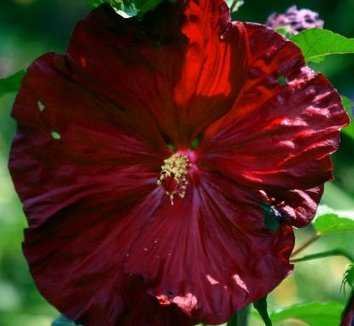 Hibiscus 'Robert Fleming'  14776 3 flower