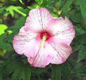 Hibiscus 'Pink Comet' PP13751 1 flower