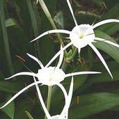 Hymenocallis caribaea 'Tropical Giant'