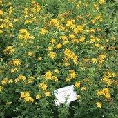 Hypericum buckleii 'Appalachian Sun'