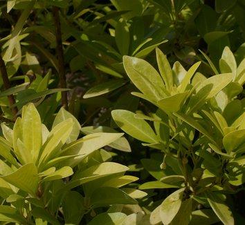 Illicium parviflorum 'Florida Sunshine' 5