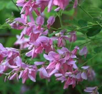 Indigofera kirilowii 1 flower