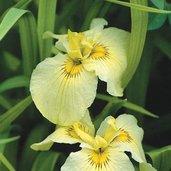 Iris 'Aichi-no-Kagayaki'