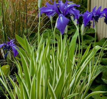 Iris ensata 'Variegata' 6 flower
