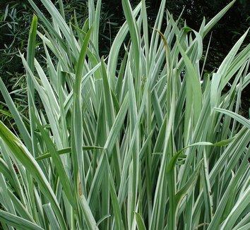 Iris ensata 'Variegata' 7