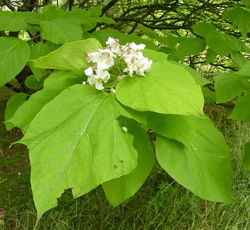 catalpa bignonioides 39 aurea 39 indian bean tree plant lust. Black Bedroom Furniture Sets. Home Design Ideas