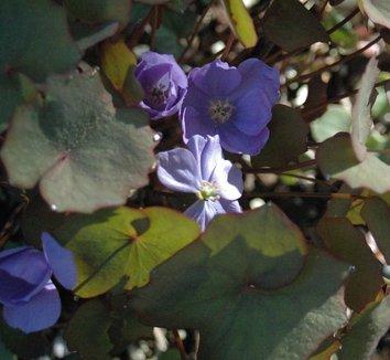 Plagiorhegma dubium 1 flower