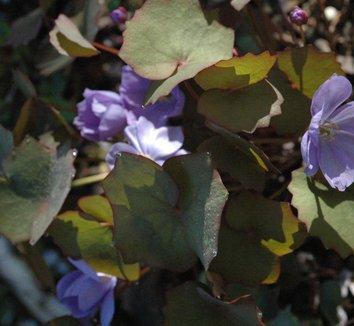 Plagiorhegma dubium 8 flower