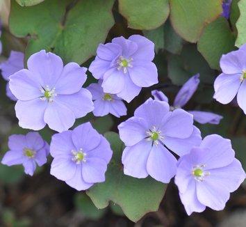 Plagiorhegma dubium 9 flower