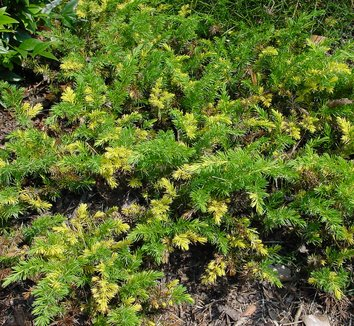 Juniperus conferta 'Sunsplash' 4