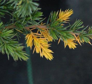 Juniperus conferta 'Sunsplash' 5