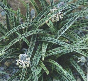 Ledebouria 'Gary Hammer' 1 flower, form