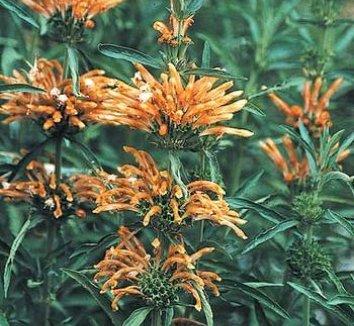 Leonotis leonurus 2 flower