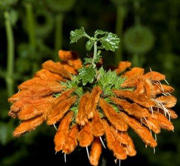 Leonotis leonurus 4 flower