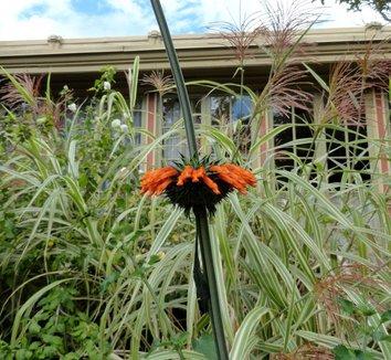 Leonotis leonurus 10 flower, form