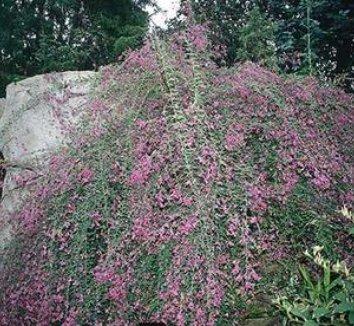 Lespedeza thunbergii 'Gibraltar' 1 flower, form