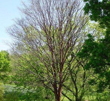Acer griseum 15 form