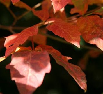 Acer griseum 16