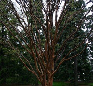 Acer griseum 17 form