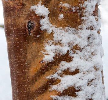 Acer griseum 21 bark