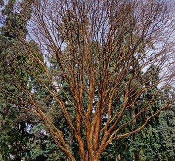 Acer griseum 23 form