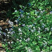 Myosotis palustris 'Southern Blues'