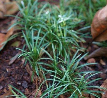 Ophiopogon japonicus 'Gyoku Ryu' 5