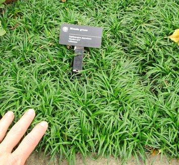 Ophiopogon japonicus 'Gyoku Ryu' 6
