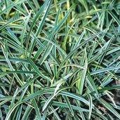 Ophiopogon 'Haku ryu Ko'