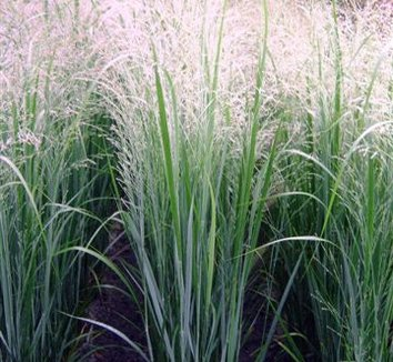 panicum virgatum 39 northwind 39 panicum virgatum 39 hot rod 39 northwind switchgrass plant lust. Black Bedroom Furniture Sets. Home Design Ideas