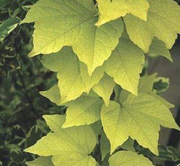 Parthenocissus tricuspidata 'Fenway Park' 1
