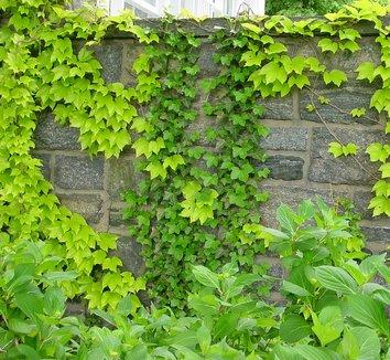Parthenocissus tricuspidata 'Fenway Park' 7