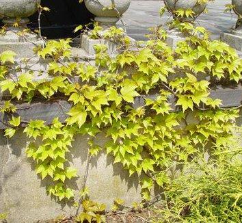 Parthenocissus tricuspidata 'Fenway Park' 9 form