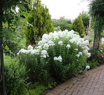 Phlox paniculata David David Garden Phlox plant lust