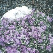 Phlox bifida 'Betty Blake'