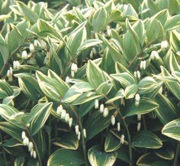 Polygonatum odoratum var. pluriflorum 'Variegatum' 1 flower, form