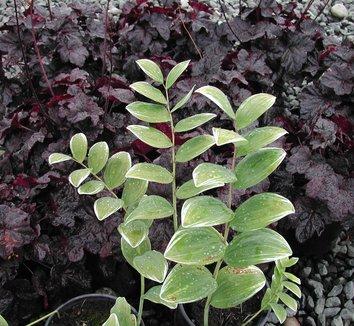 Polygonatum odoratum 'Variegatum' 2 form