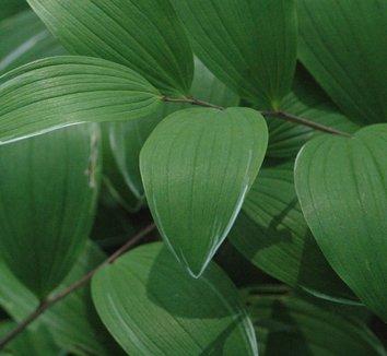 Polygonatum odoratum var. pluriflorum 'Variegatum' 7