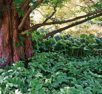 Polygonatum odoratum 'Variegatum' 15