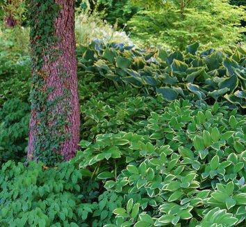 Polygonatum odoratum 'Variegatum' 12