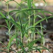 Polygonatum cirrhifolium coll. #A1C-378